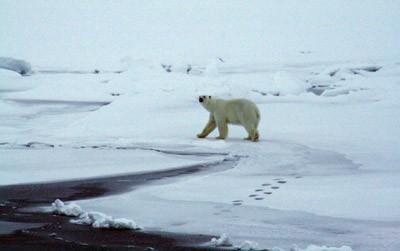 En ung nysgerrig isbjørnehun cirkler rundt om Oden. Foto: Polarforskningssekretariatet.