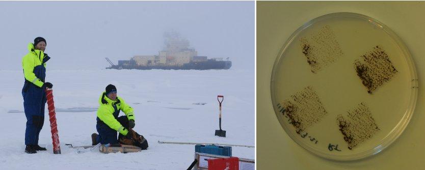 Et Kovacs isbor drevet af en elektrisk boremaskine blev brugt til at indsamle iskerner (Foto: Markus Karasti) og en sedimentprøve podet på et næringsfattigt vækstsubstrat