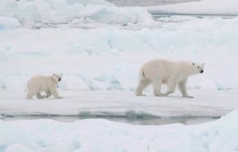 Isbjørnemor med unge dukkede pludselig op ved skibet søndag den 2. august. Foto: Markus Karasti.